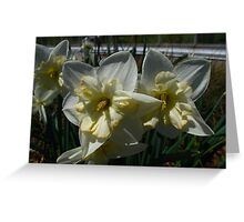 Daffodils of Spring Greeting Card
