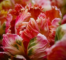 parrot tulips by bellaillume