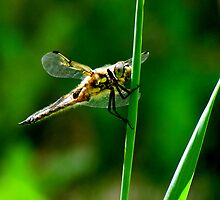 Dragon fly II by loralea