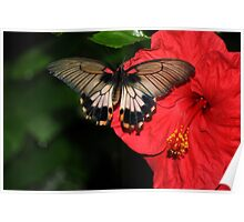 Swallowtail and Hibiscus. Poster