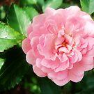 Pretty in Pink by DearMsWildOne