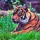 Tiger: HDR by JLaverty