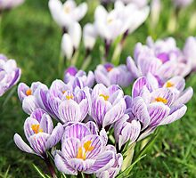 Crocus, st James's Park, London 2011 by Timothy Adams