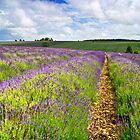 Snowshill Lavender, The Cotswolds, England by Giles Clare