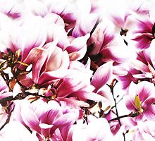 magnolia by lucyliu