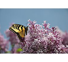 Eastern Tiger Swallowtail and Lilac Photographic Print