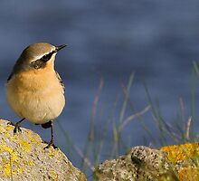 Northern Wheatear  by Sanne Hoekstra