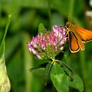 European Skipper on Red Clover by Robert Miesner