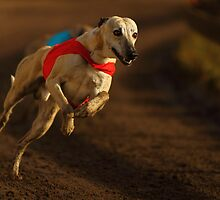 The Sensational Sighthound!! by whippeteer