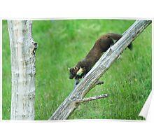 Pine Marten Climbing Down Poster
