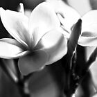 Frangipani In Black And White by Evita