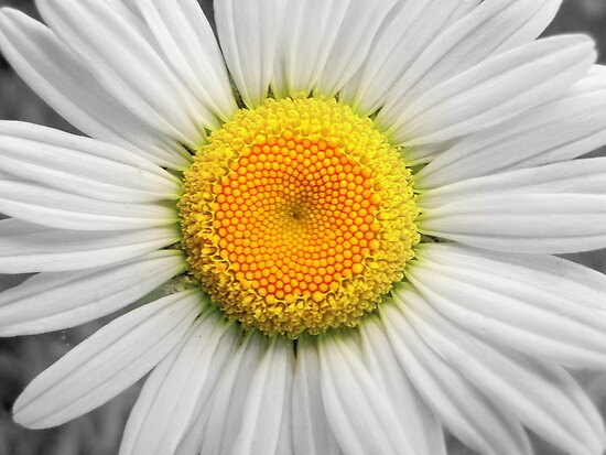 A Daisy by Jean Gregory  Evans