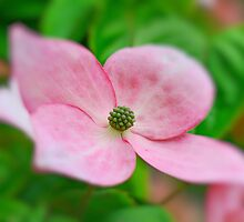 Dogwood Blossom  by Judy Grant