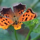 Comma Butterfly by Lori Deiter