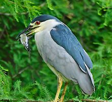 Black Crowned Night Heron & Catfish by Joe Jennelle
