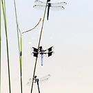 Three dragonflies by pond by SusieG