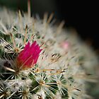 Pink flowering cactus by Melissa-Louise