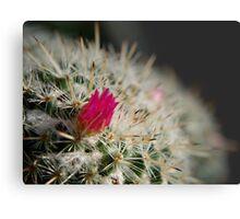 Pink flowering cactus Metal Print