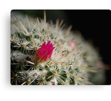 Pink flowering cactus Canvas Print