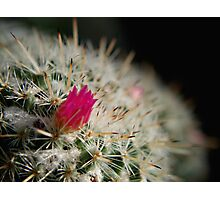 Pink flowering cactus Photographic Print