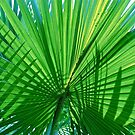 fan palm by richard  webb