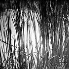 Reeds Reflected by Jared Plock