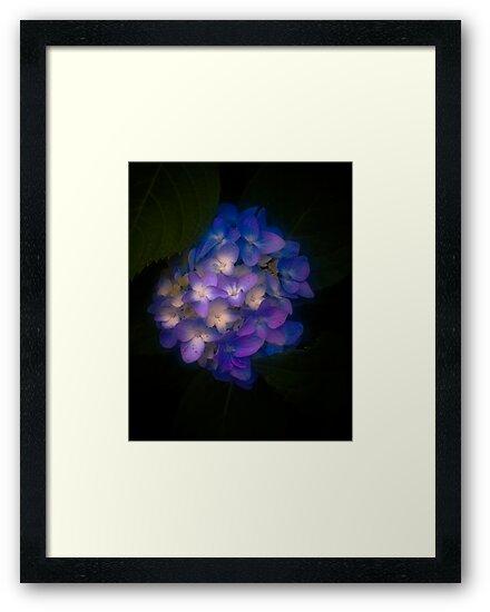 Hydrangea  by Randall Faulkner