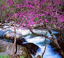 REDBUD ALONG LITTLE RIVER by Chuck Wickham