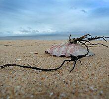 Shell on St. Leonards beach by ShineArt
