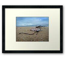 Shell on St. Leonards beach Framed Print
