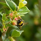 Bumble bee finding nectar by stay-focussed