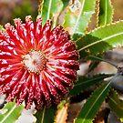 110619 Lesueur National Park Banksia Menziesii by Jaxybelle