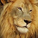 Lion at Sunset by Macky