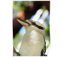 Kookaburra Sitting in a Tree Poster