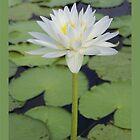 Lily White by jono johnson