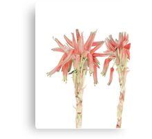 Aloe sp. - the nameless Aloe Canvas Print