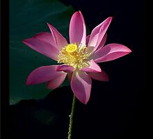 Lotus - Enlightenment by jono johnson