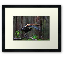 Superb Lyrebird Framed Print