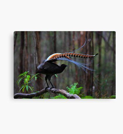 Superb Lyrebird Canvas Print
