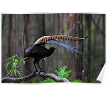 Superb Lyrebird Poster