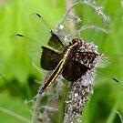 Libellula luctuosa- Widow Skimmer- Female   by Tracy Wazny
