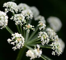 Cow Parsley by Katie  Hollamby