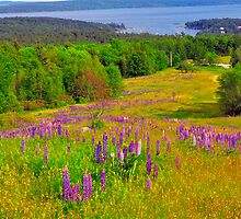 Lupines, Blue Hill, Blue Hill, Maine by fauselr