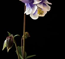 Purple Columbine by Karine Radcliffe