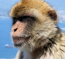 Gibraltar Barbary Ape by James Hogarth