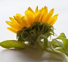 Sunflower by Doug McRae