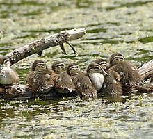 Wood Duck Babes by KatMagic Photography