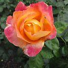 Multi-coloured Rose by Glenn Cecero