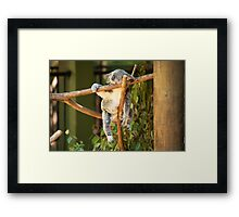Tuckered out Koala by itself in a tree. Framed Print