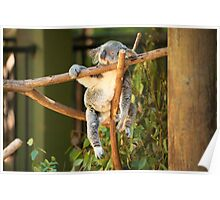 Tuckered out Koala by itself in a tree. Poster